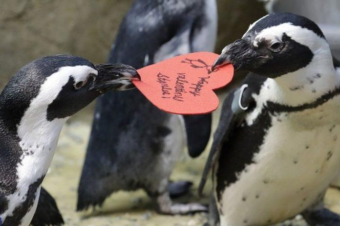 ¡Qué tierno! Pingüinos celebran el Día del Amor y la Amistad