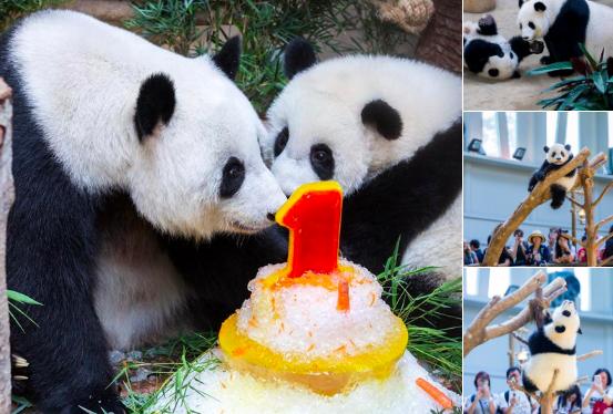 Panda cumple un año