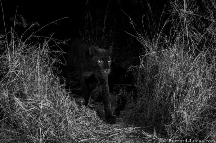 Fotografían a leopardo negro; desde 1909 no se observaba