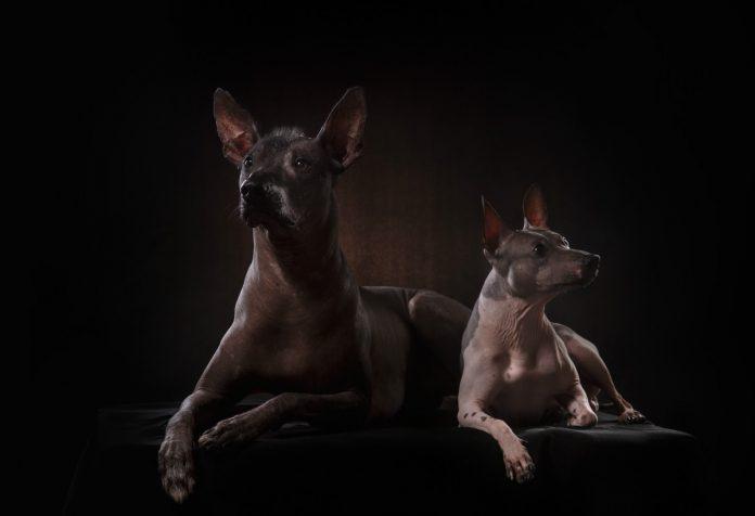 El Xoloitzcuintle es el perro con más de 7 mil años en la tierra